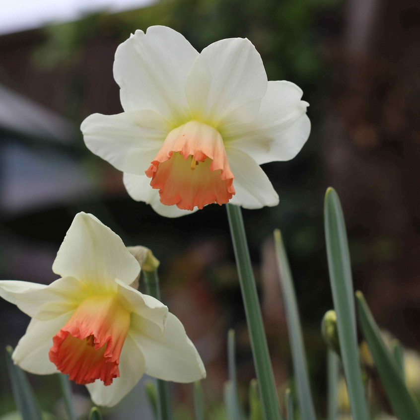 Narcissus 'Pink Smiles'in the garden