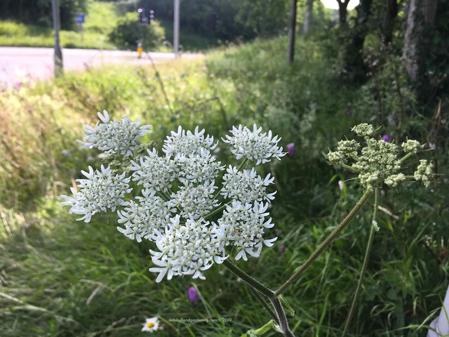 Hogweed and grasses