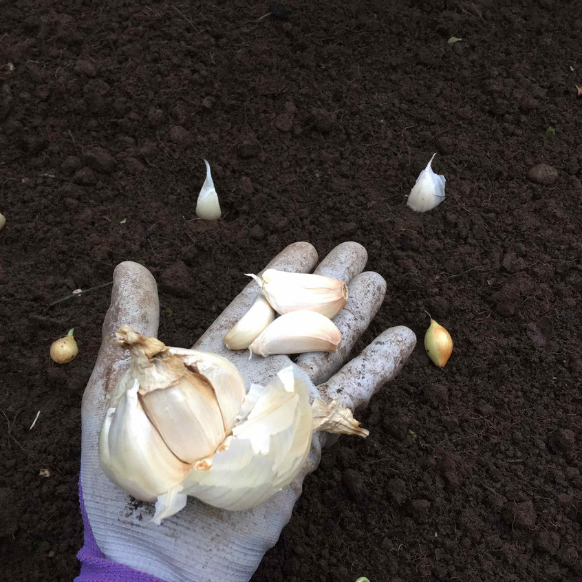 Planting Marco & Cristo garlic