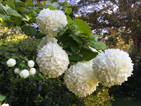 Fagus Times Summer Snow - Viburnum
