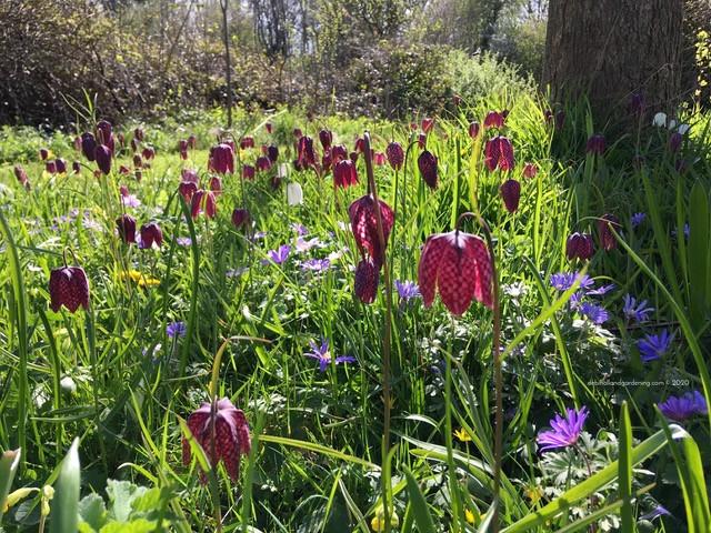 Fritillary meleagris meadow