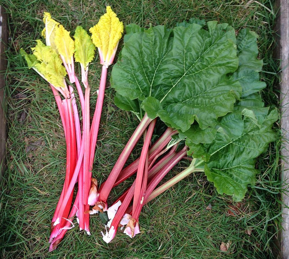 Rhubarb, beautiful pale forced stems & dark leafed unforced
