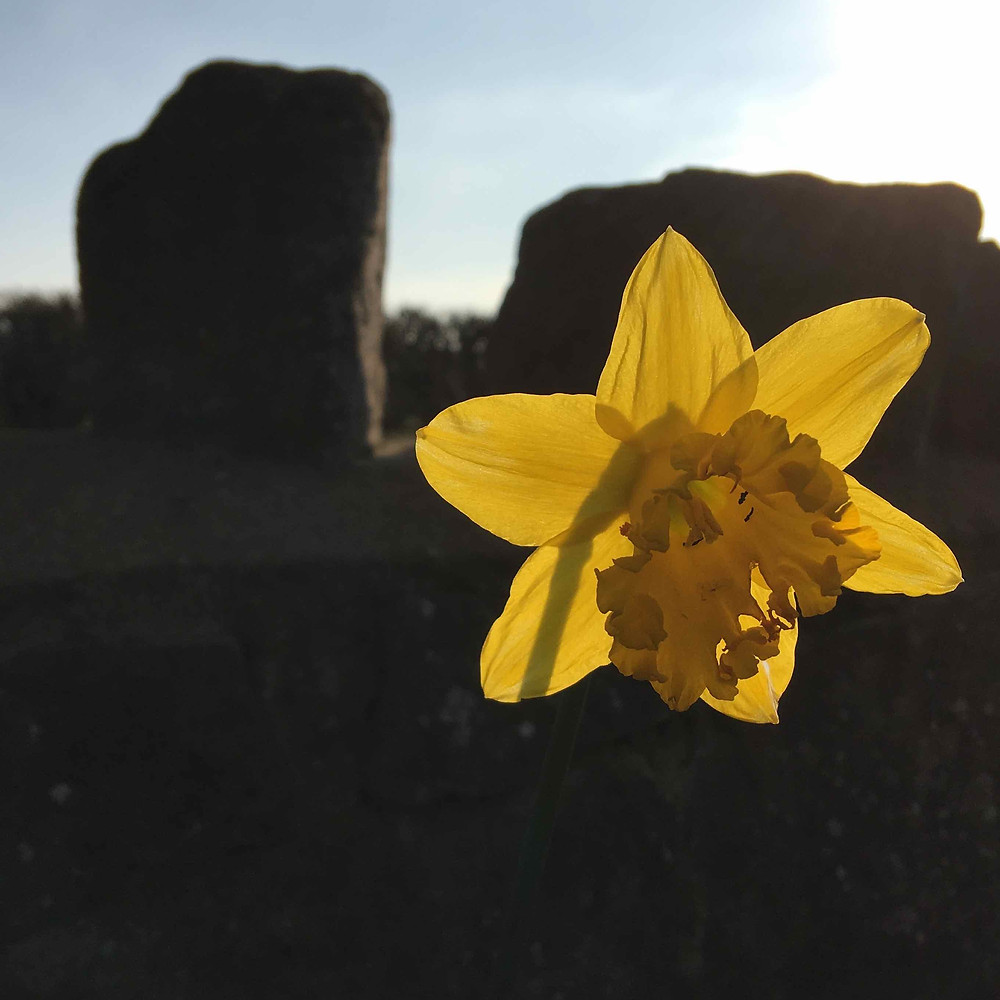 Narcissus radiant in the March sunshine
