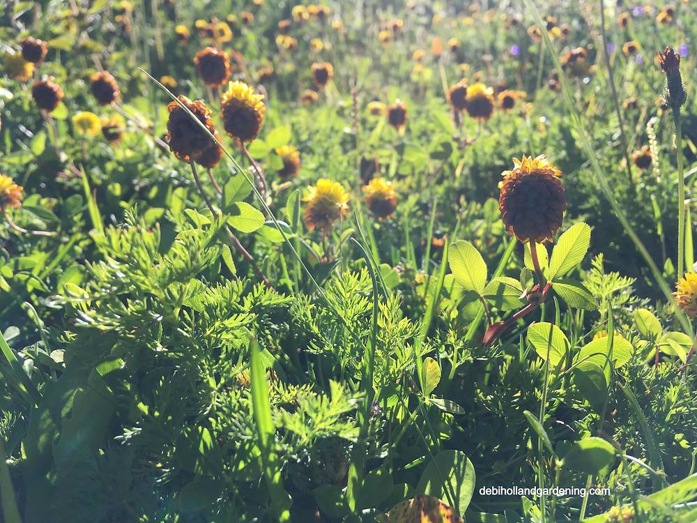 Trifolium bodium, brown clover