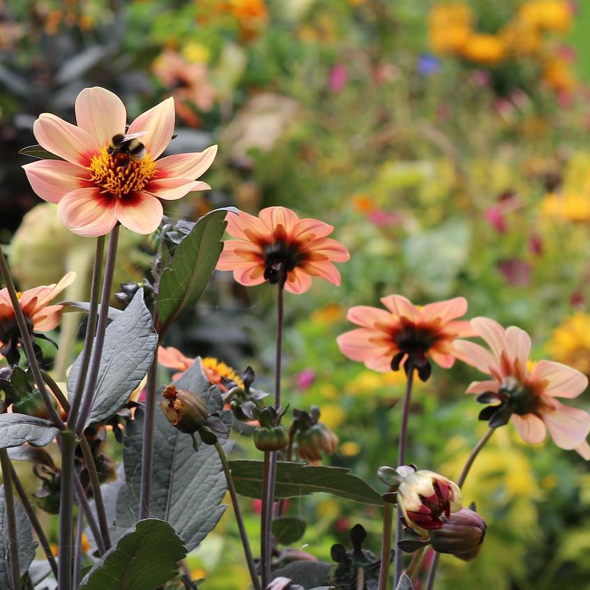 Dahlias keep the local bees happy