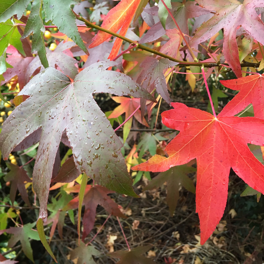 Colourful Acer leaves