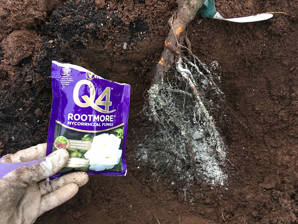 Sprinkle mycorrhizal fungi over bare root roses when planting