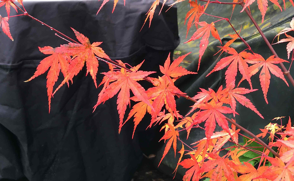 Acer palmatum on fire at the moment
