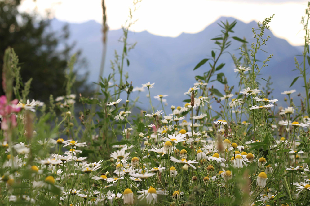 Carpet of wildflowers on the mountainside