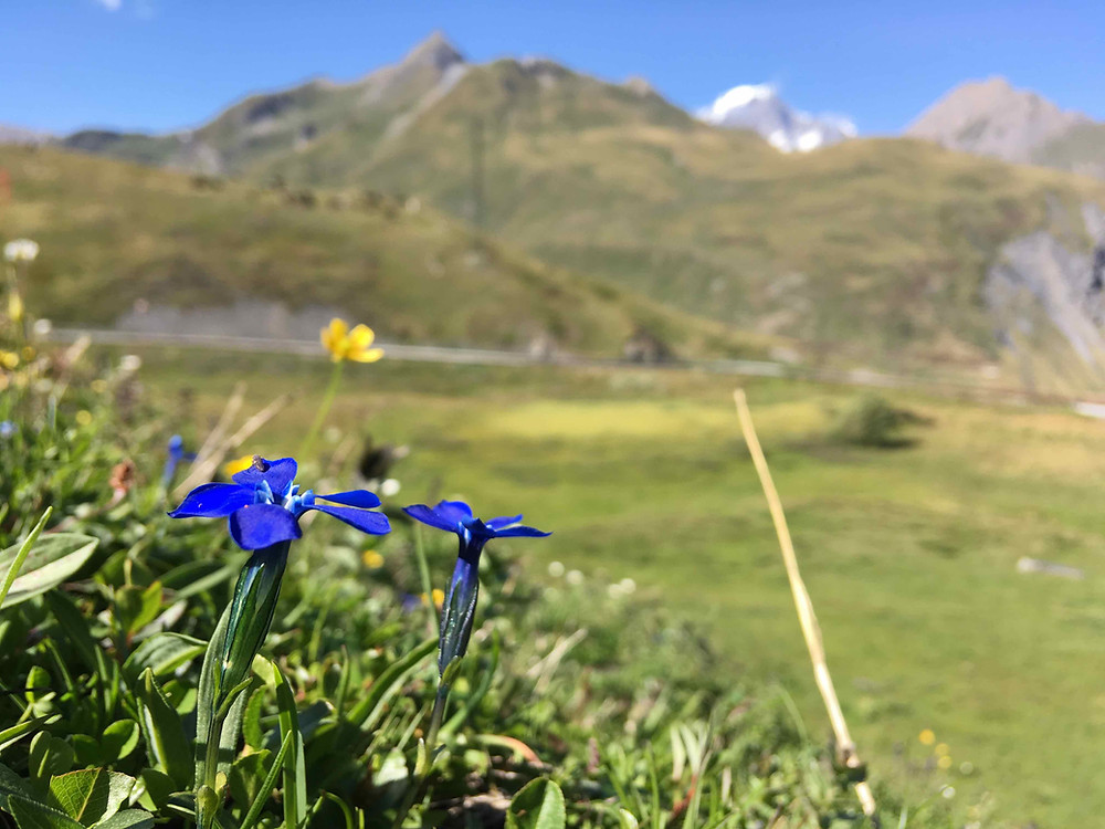 Gentiana nivalis at the French Italian border with a view of Mont Blanc