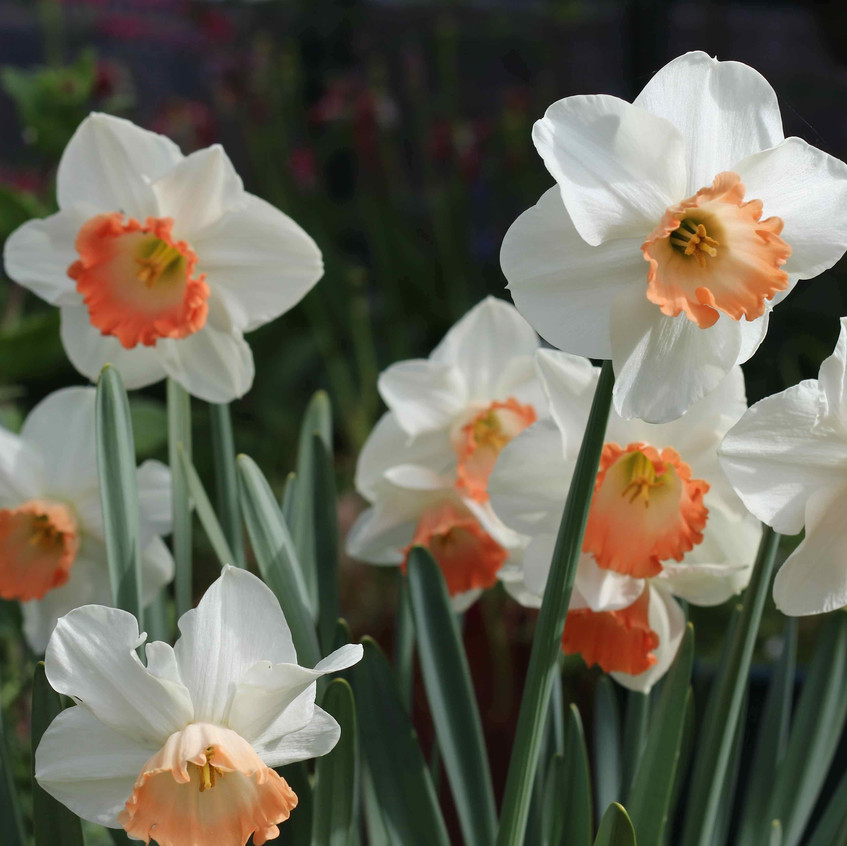 Narcissus 'Pink Smiles'