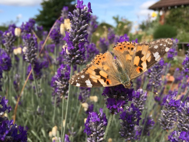Vanessa cardui, Painted Lady butterfly on lavender