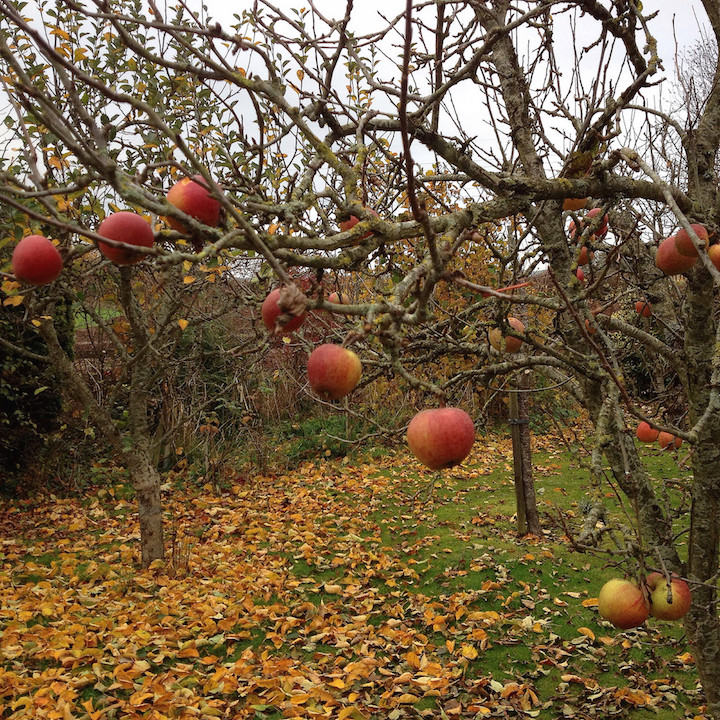 Harvest remaining apple crop