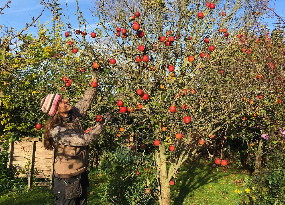 Harvest any remaining apples