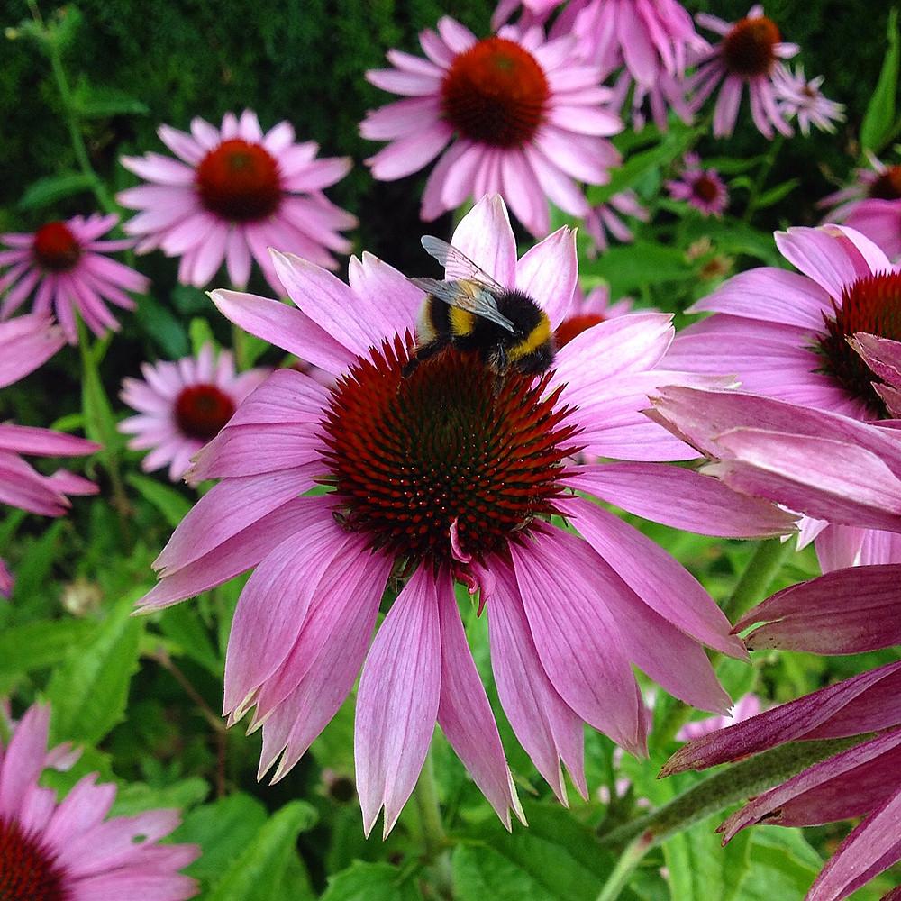 Bumblebee happily feasts on Echinacea. Photo: Debi Holland