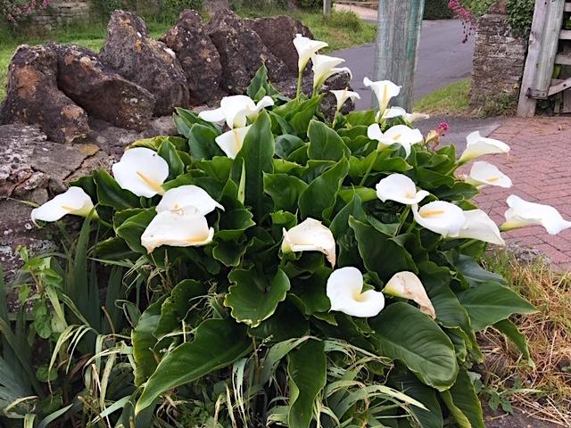 Zantedeschia, Calla lilies