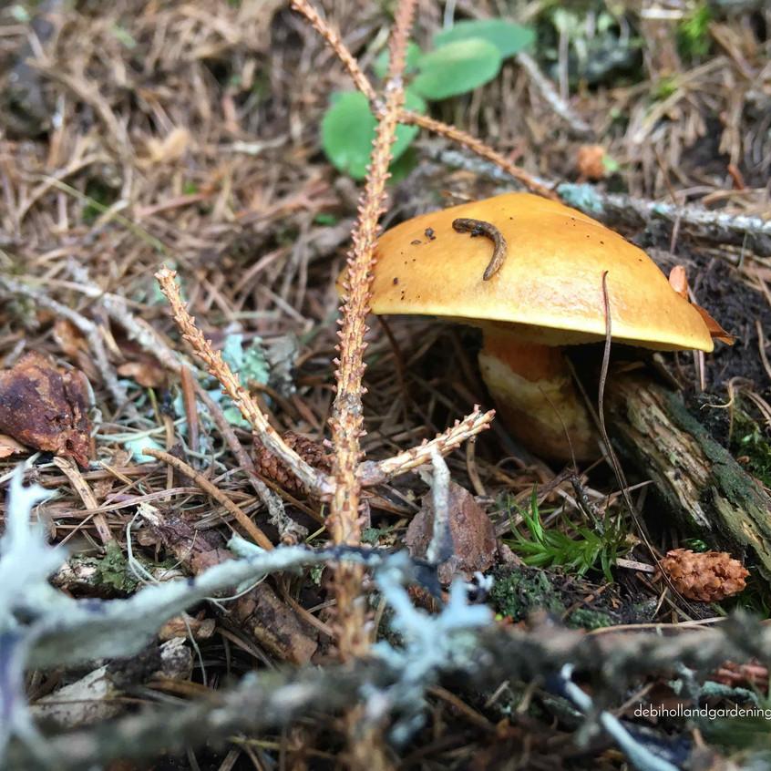 Suillus grevillei fungi
