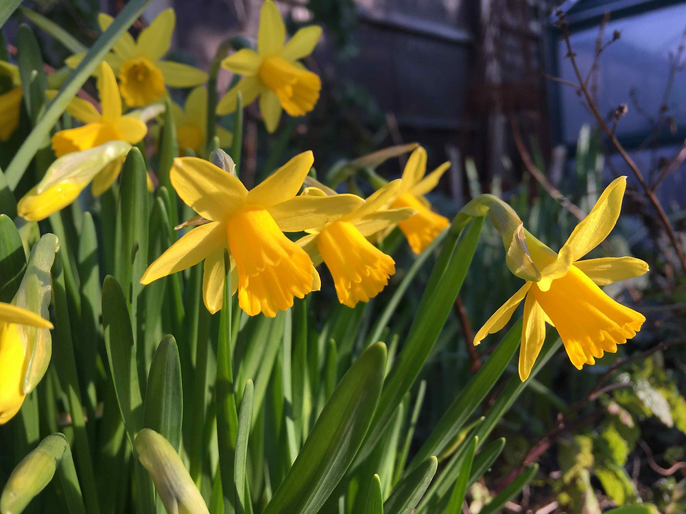 Narcissus in the sun