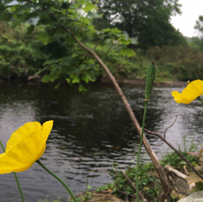 Welsh poppies scattered along river