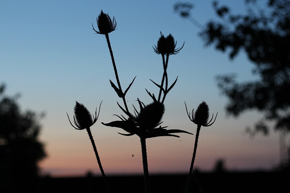 Teasels in the night garden