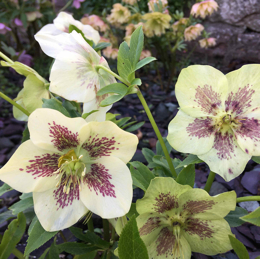 Hellebores - spotted single