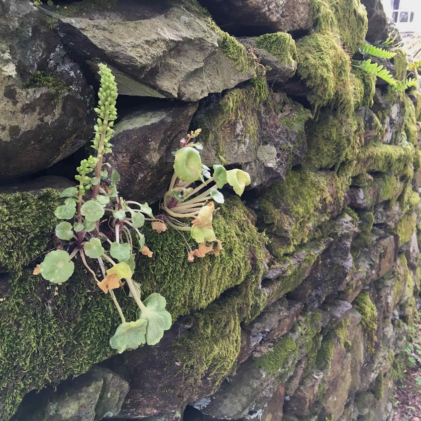 Navelwort in dry stone wall