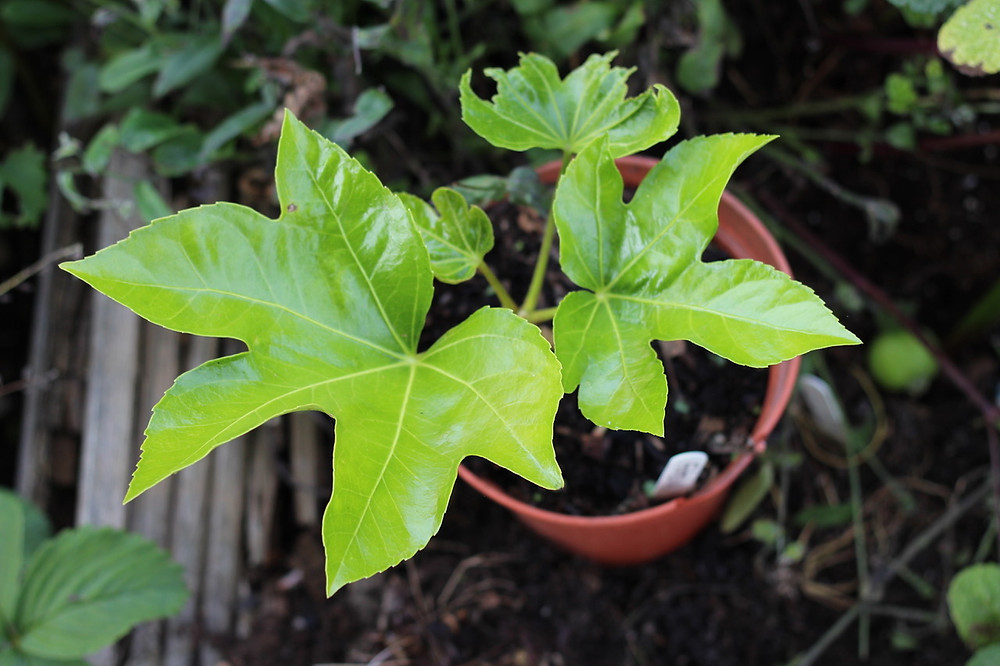 Fatsia japonica grown from seed