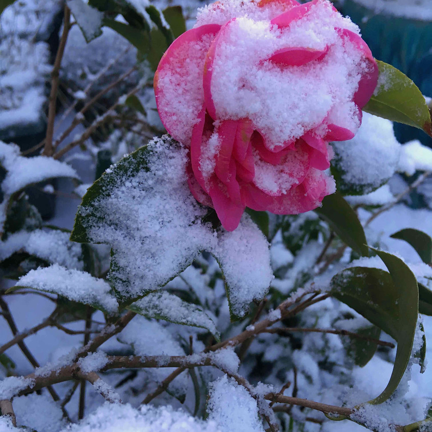 Camellia in a blanket of snow
