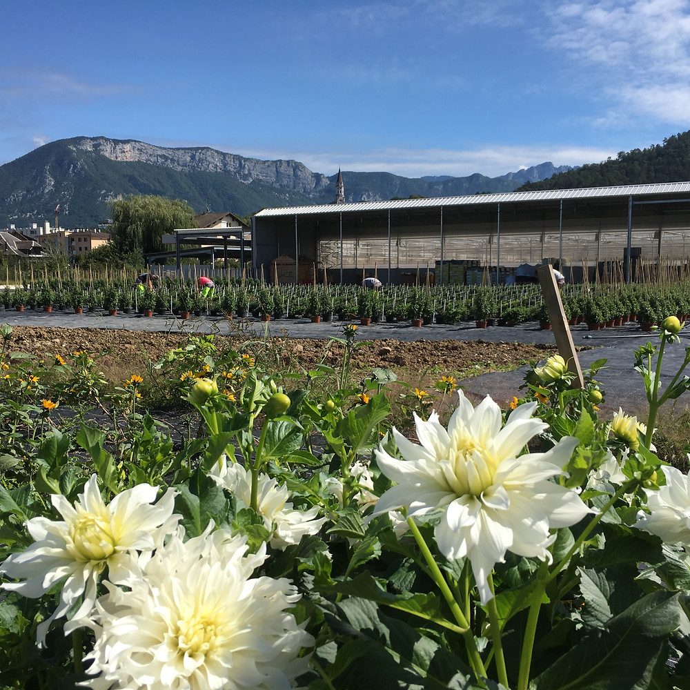 Horticole Centre Annecy. Dahlias & mountains. Photo c/o Christophe FERLIN