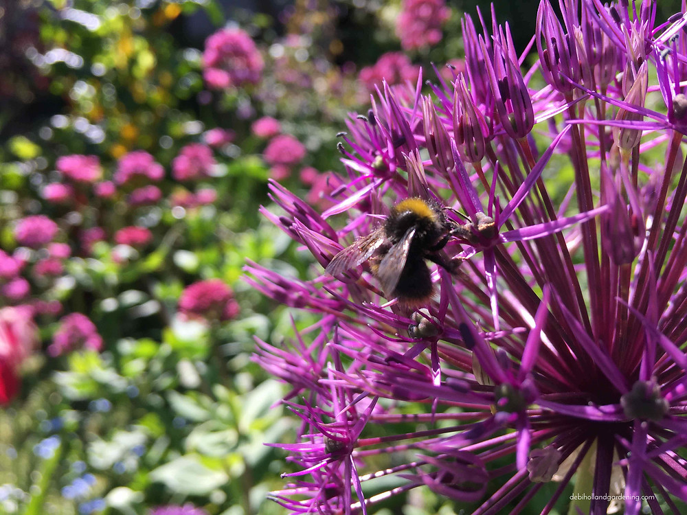 Bee feasting on an allium
