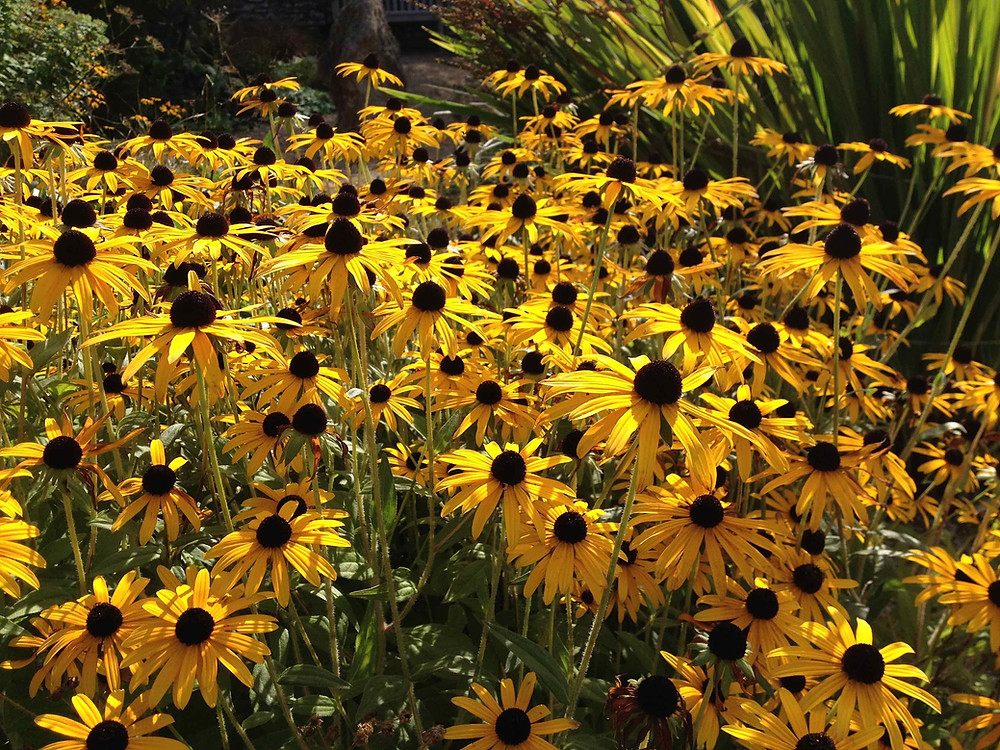 Radiant Rudbeckia loves the sun