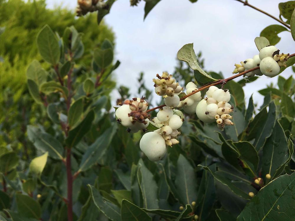 Symphoricarpos albus, Snowberry