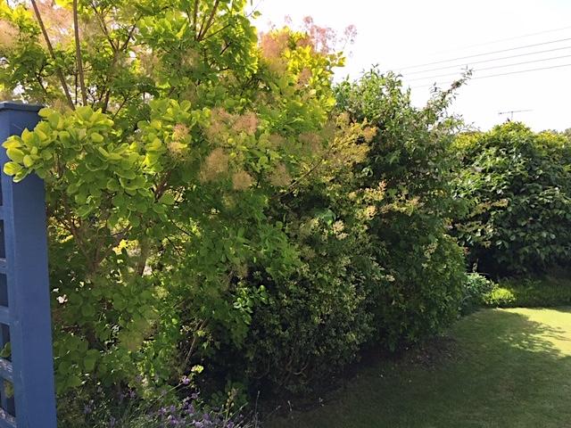 Cotinus, choisya & camellia