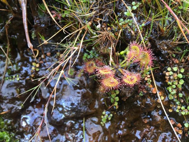 Drosera, Sundew carnivorous plant