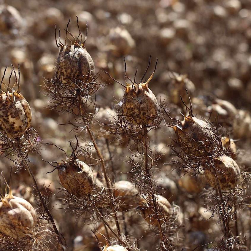 Nigella damascena seed heads
