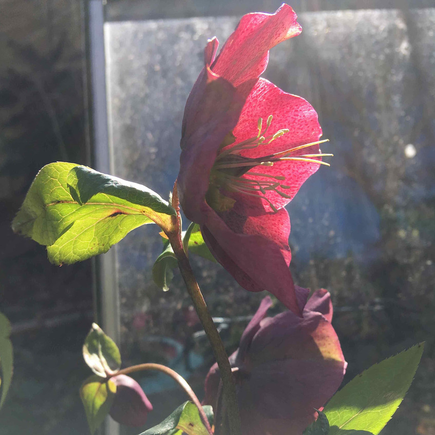 Hellebores - sun-kissed