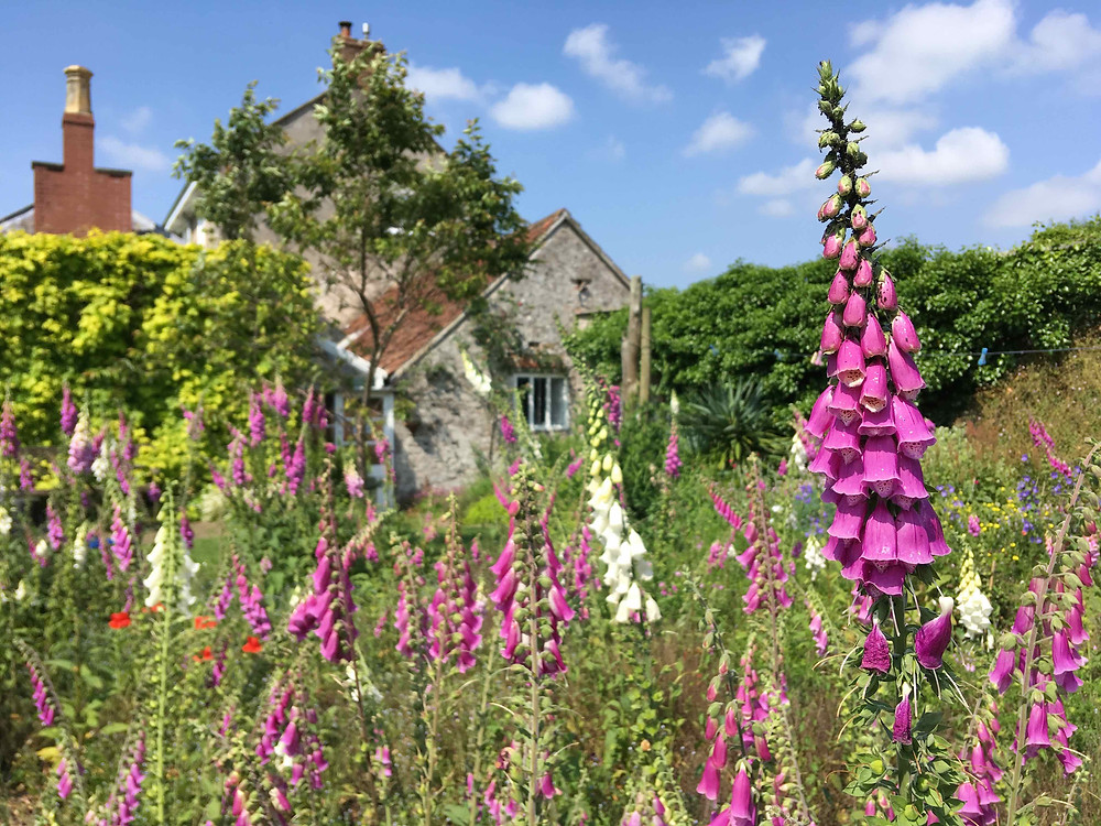 Her garden teams with foxgloves & inspiration