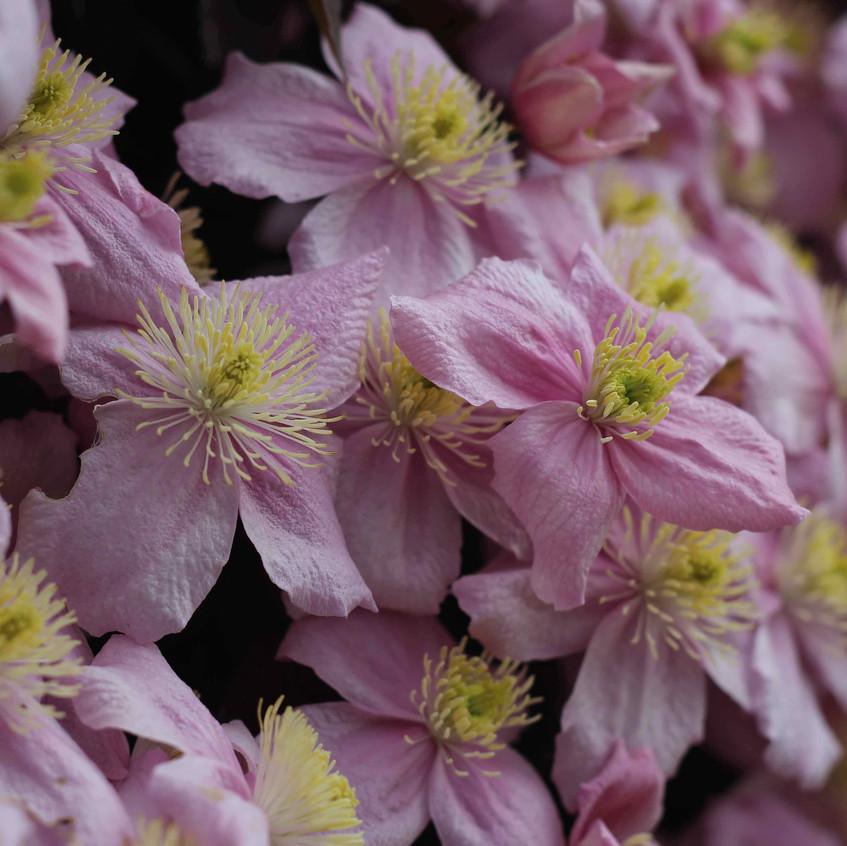 Clematis montana anthers & petals
