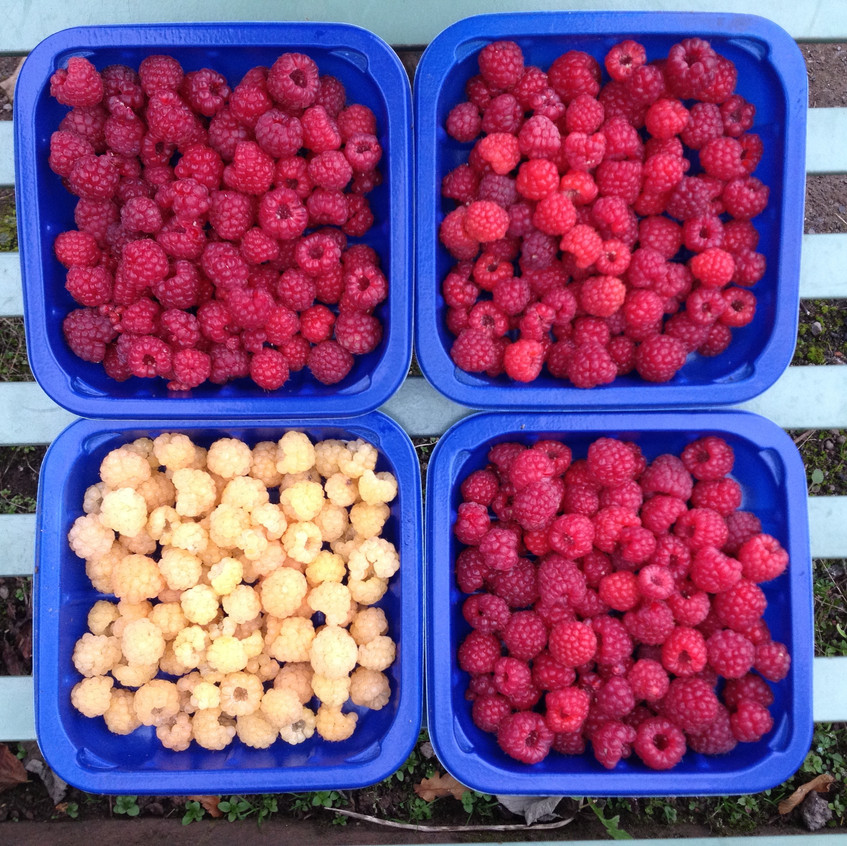 Fabulous raspberries