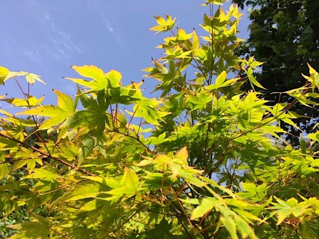 Exquisite maple foliage