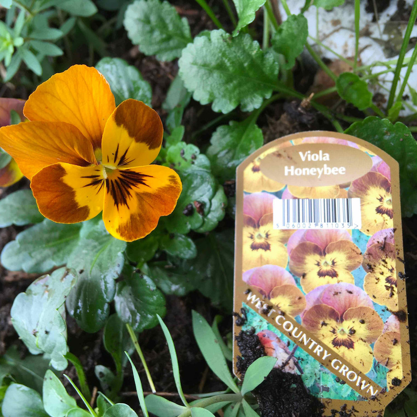 Viola 'Honeybee'