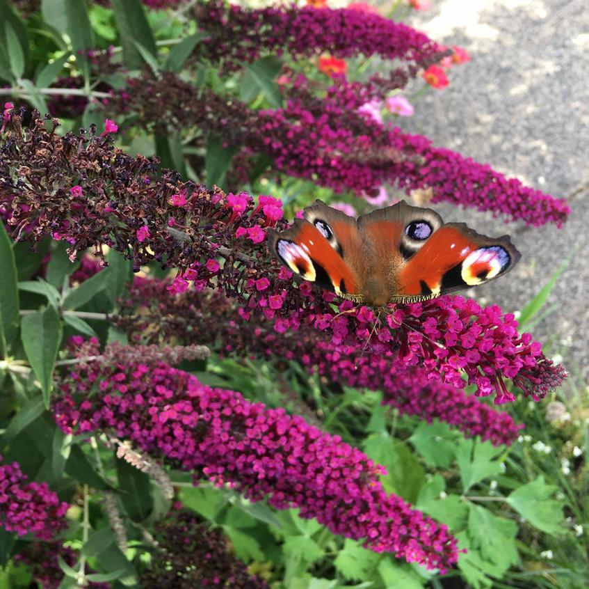 Buddleja & Peacock Butterfly