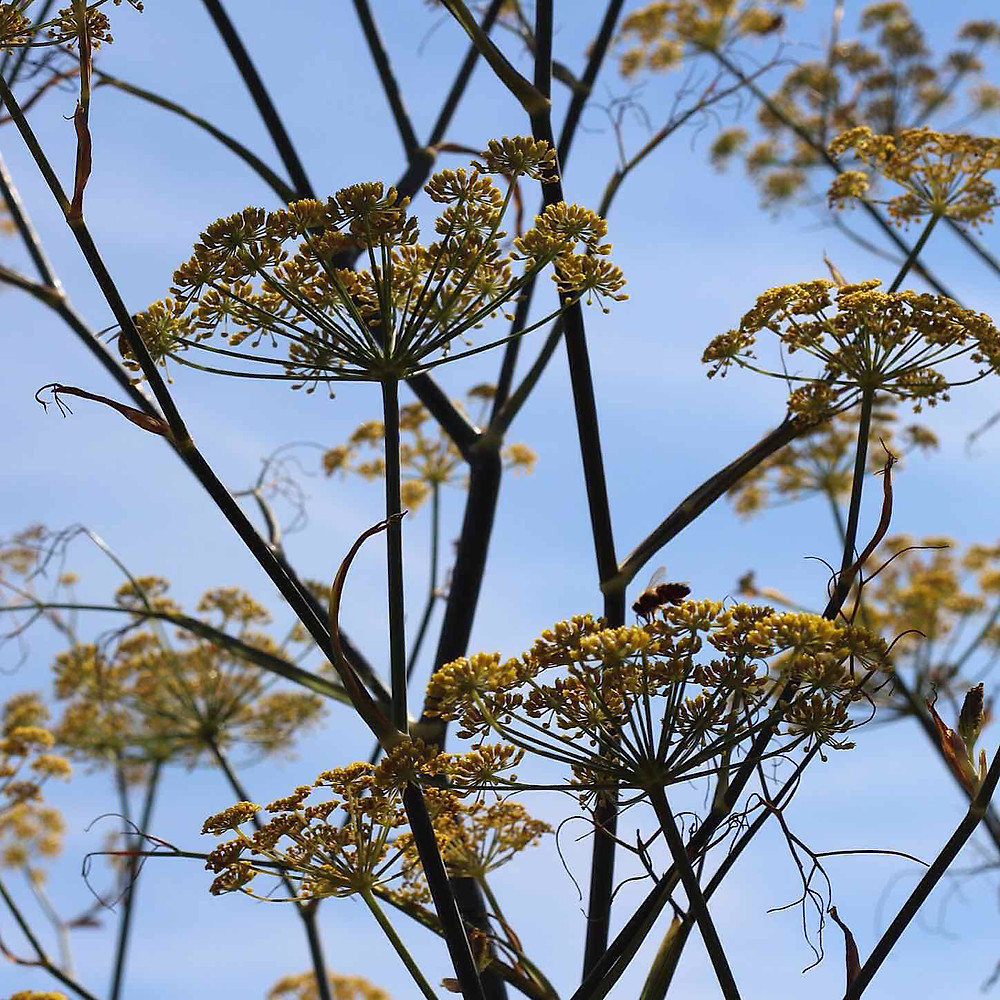 Fennel flowers going to seed