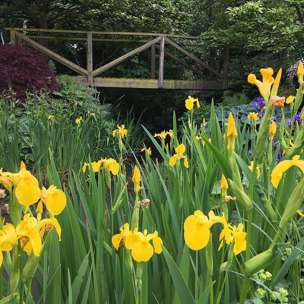 Yellow flag iris on the banks of the pond
