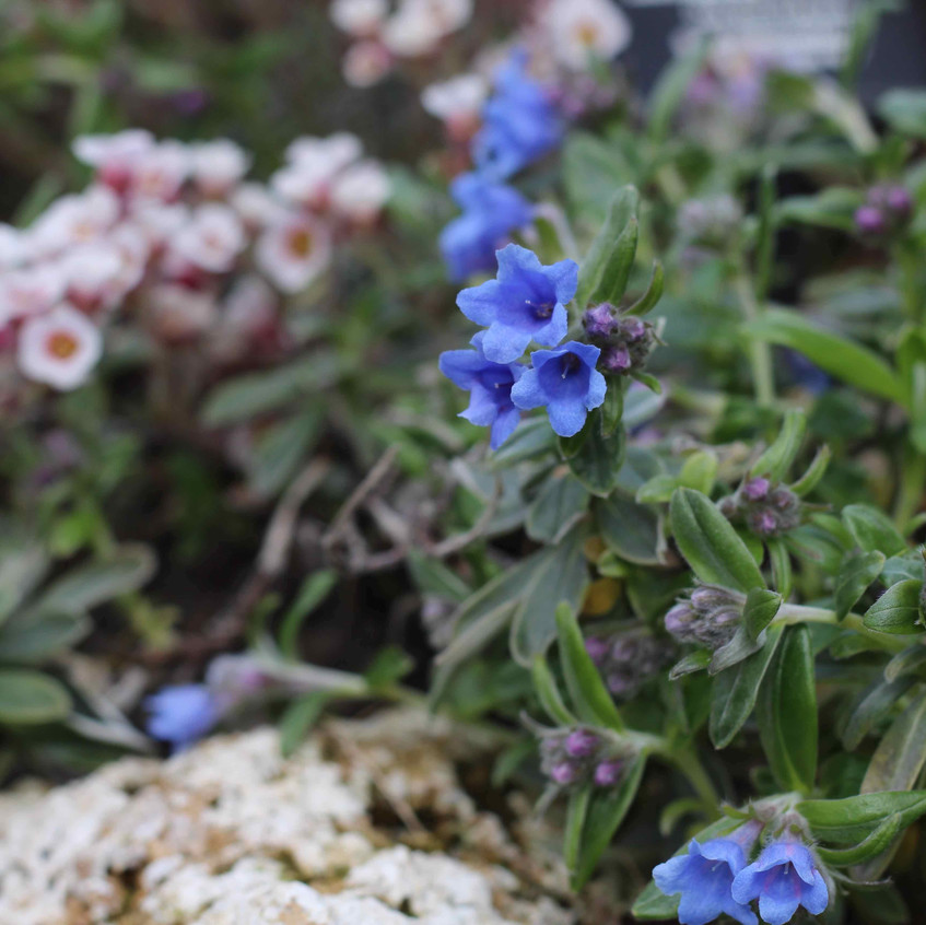 Lithodora oleifolia