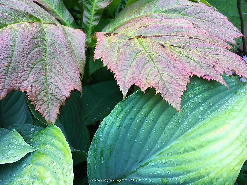 Raindrops on the contrasting leaves of rodgersia & hosta