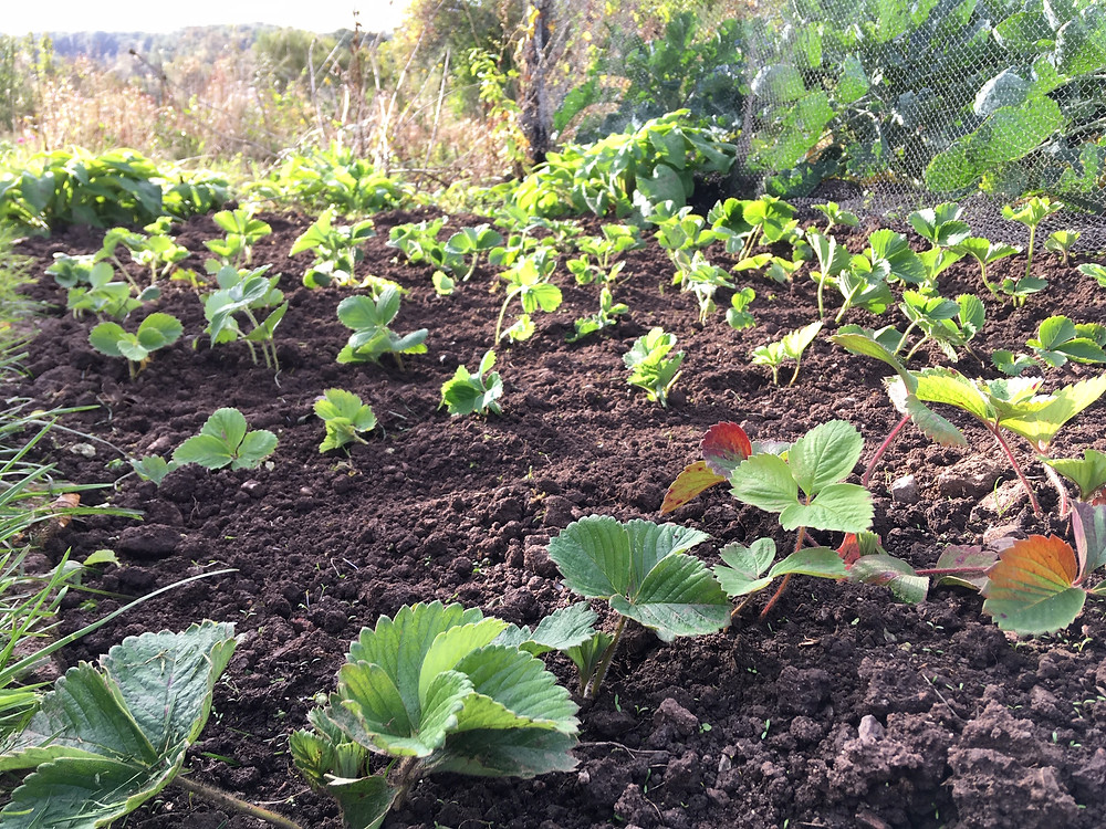 Transplant strawberry runners whilst soil is warm