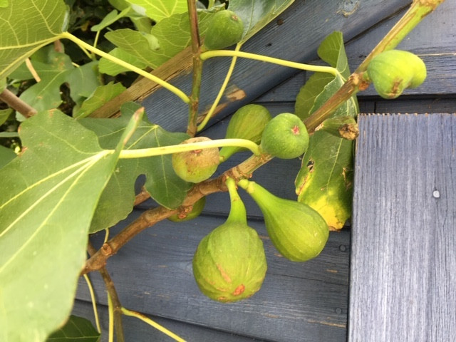 Glorious figs by the tool shed
