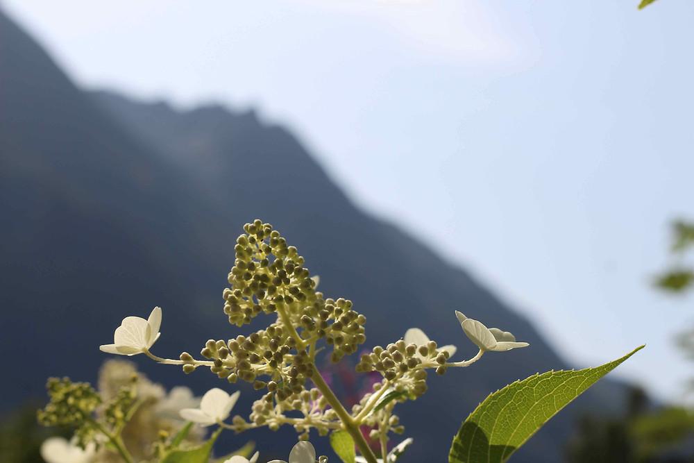 Hydrangea paniculata at Sainte Foy