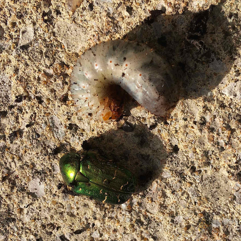 Rose chafer beetle & larvae